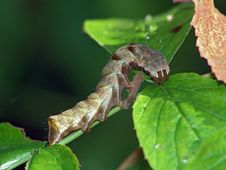 Caterpillar Of The Butterfly Of Family Noctuidae. Royalty Free Stock Images