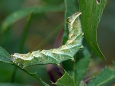 Free Caterpillar Of The Butterfly Of Family Noctuidae. Stock Image - 628451