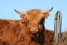 Free Cow Royalty Free Stock Photos - 629038