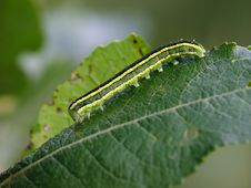 Free Caterpillar Of Butterfly Vavestra Pisi. Royalty Free Stock Images - 629109