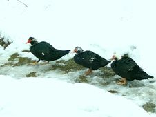 Free Ducks In The Snow Stock Photography - 629682
