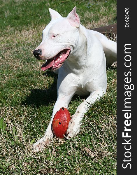 Dogo Argentine With Rugby Ball