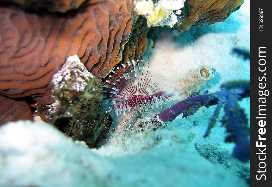 Fan worm and arrow crab