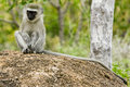 Free Young Vervet Monkey Royalty Free Stock Image - 6203006