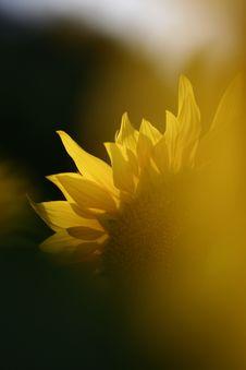 Free Sunflower Stock Image - 6201711