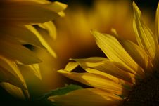 Free Sunflower Royalty Free Stock Photography - 6202487