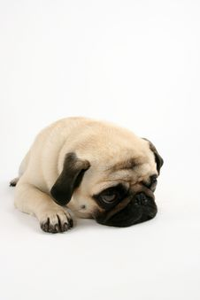 Free Dreamy Pug Royalty Free Stock Photo - 6202855