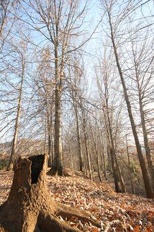 Free Oak Forest Stock Image - 6203441
