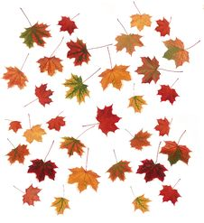 Free Autumn Maple Leaves Stock Photo - 6203920
