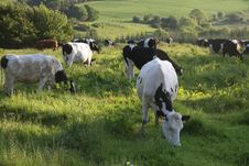 Free Cows In The Sunset Royalty Free Stock Photos - 6205158