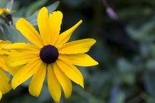 Free Large Brown Eyed Susan Royalty Free Stock Photos - 6205738