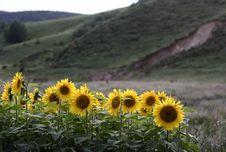 Free Sunflower Stock Photo - 6206030