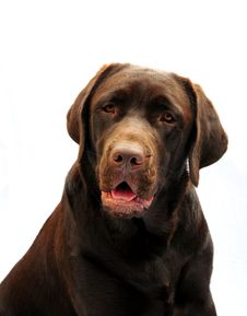 Free Chocolate Labrador Royalty Free Stock Image - 6207396