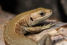 Free Lizard Stock Photography - 6208512