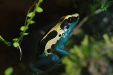 POISON FROG Royalty Free Stock Image