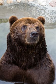 Free Brown Bear Royalty Free Stock Image - 6209326