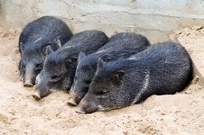 Free Piglets Stock Images - 6209344