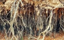 Free Roots Of Old Tree Without Ground Stock Images - 62011344