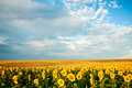 Free Yellow Field Royalty Free Stock Photography - 6214847