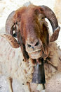 Free Bighorn Sheep Stock Photography - 6218302