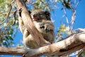 Free Sleeping Koala Stock Photography - 6218652