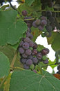 Free Grape Royalty Free Stock Photography - 6219857