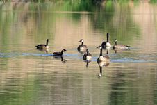 Canada Geese Stock Image