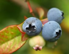 Free Bilberries Stock Photography - 6211552