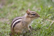 Free Chipmunk Royalty Free Stock Photo - 6211805