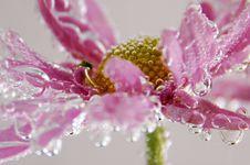 Free Pink Gerbera Royalty Free Stock Image - 6212296