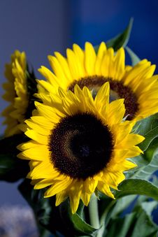 Free Sunflower Royalty Free Stock Photo - 6212365