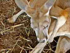 Free Baby Kangaroo Royalty Free Stock Images - 6212909