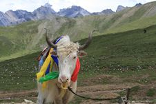 Free Yak Of The Jokul Royalty Free Stock Photo - 6213495