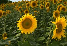 Free Bright Yellow Sunflowers Stock Photography - 6214442