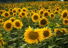 Free Very Large Sunflowers Field With Blue Sky At Sunny Stock Images - 6214454