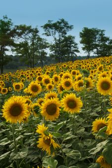 Field Of Sunflowers And Blue Sky And Trees Backgro Stock Images