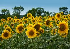 Free Bright Yellow Sunflowers On A Background Of The Sk Stock Photo - 6214550