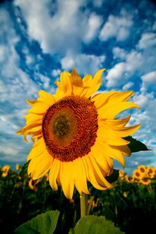 Free Big Yellow Flower Stock Images - 6214974