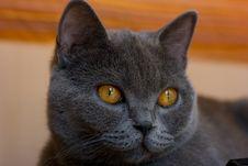 Free Cat Bristish Shorthair Royalty Free Stock Image - 6215156