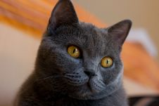 Free Cat Bristish Shorthair Royalty Free Stock Photography - 6215157
