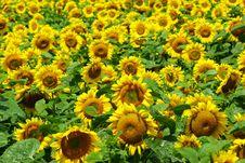 Free Sunflower Stock Photography - 6215232