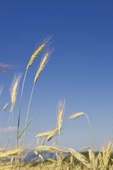 Free Wheat Royalty Free Stock Photos - 6216598