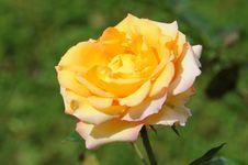 Free Perfect Yellow Rose Stock Image - 6216681