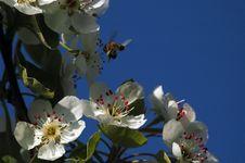 Free Honey Bee Royalty Free Stock Photos - 6217038