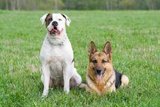 Free Germany Shepherd And American Bulldog Stock Image - 6218231