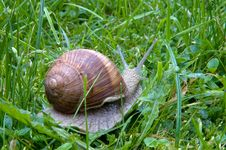 Big Snail  On A Green Grass Royalty Free Stock Image