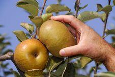 Harvest Of Reneta Apples Stock Images