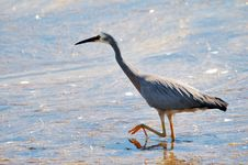 Free White Faced Heron Stock Images - 6218754