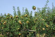 Reneta Apple Tree Royalty Free Stock Photography