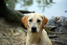 Puppy Labrador Royalty Free Stock Photo